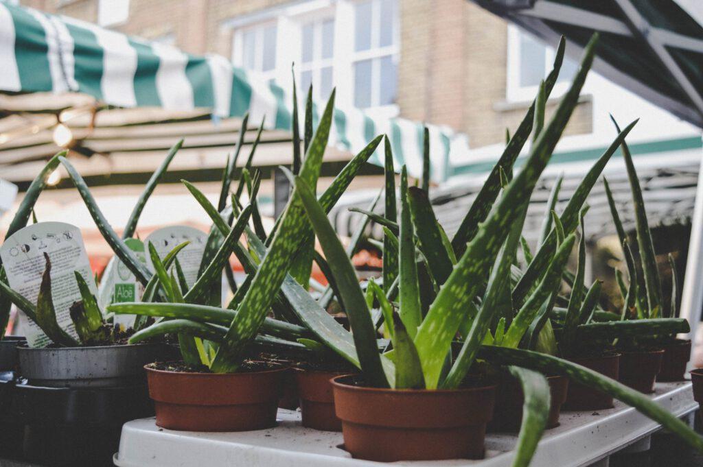 Voorbeeld Aloë vera plant | Blog planten op kantoor | Switch Services